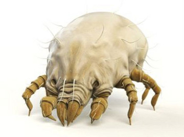 Dust mites is one of the main causes of human allergies